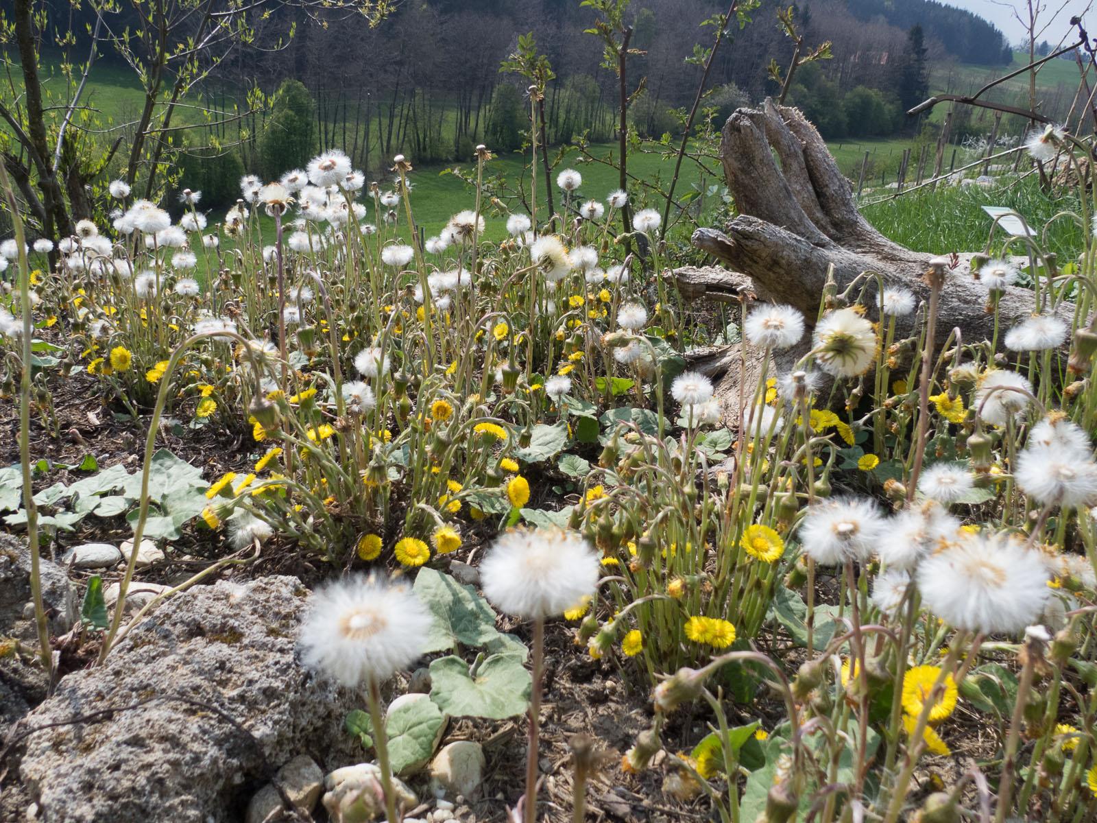 Huflattich Tussilago farfara Korbblütler Schleimhäute Husten Wildkräuter